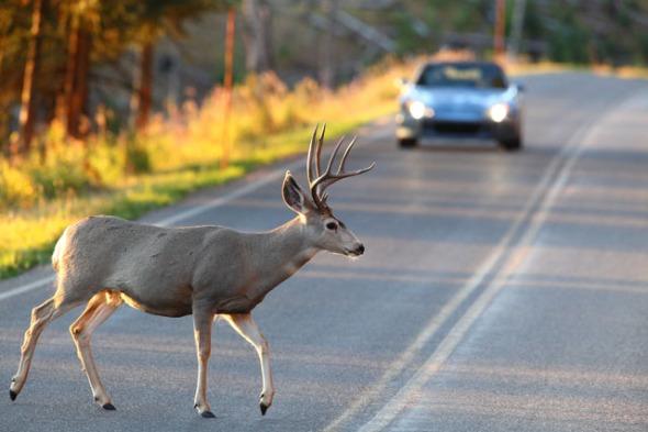 deer-crossing-road